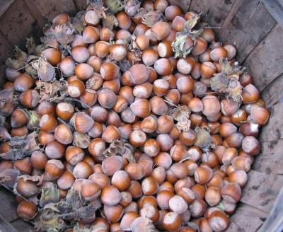 Filbert nut harvest last fall