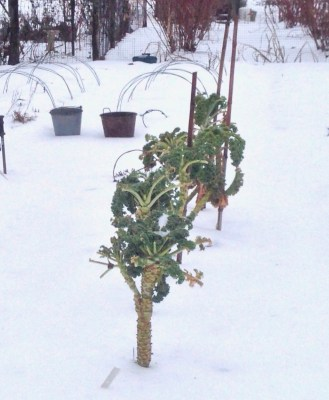 Kale in winter