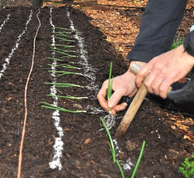 Setting out onion transplants