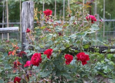 Rose, L. D. Braithwaite
