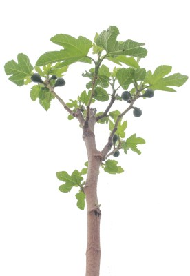 San Piero breba figs forming