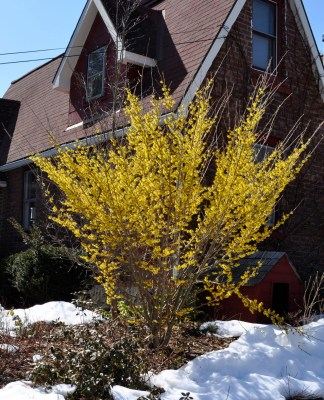 Witchhazel in bloom
