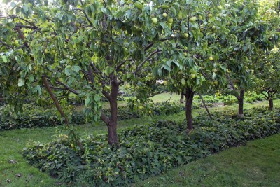 Asian pear, comfrey, and lawn