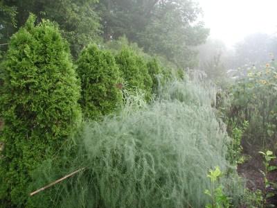 Asparagus in August