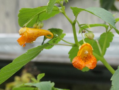 jewelweed blossom