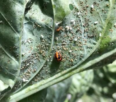 Cabbage whitefly & ladybug larvae