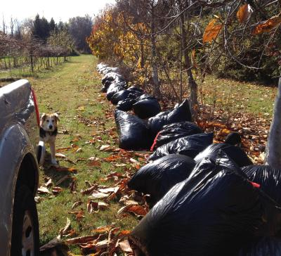 Leaf bags with pawpaws