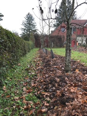 Mulch, leaf mold on pear