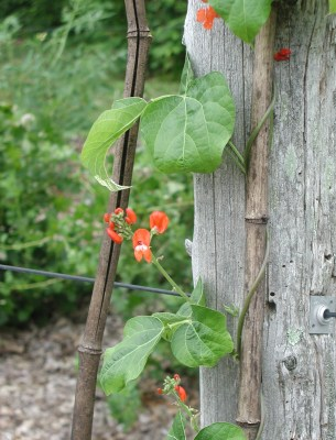 Scarlet runner bean flower