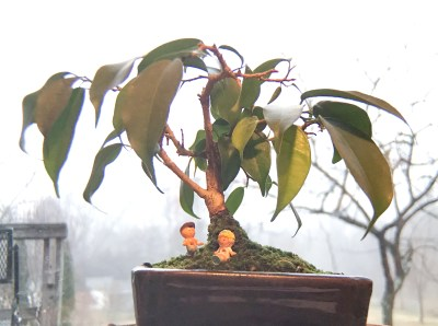 Bonsai, Ficus, at 8 years