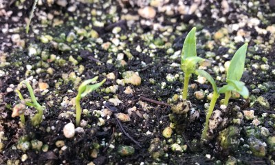 Pepper seeds sprouting