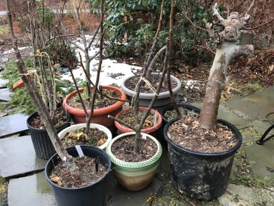 Potted figs and snow