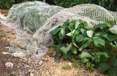Netted strawberries