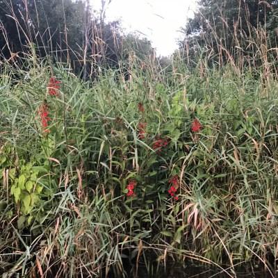 Cardinal flower Black Creek