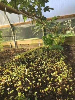 Buckwheat sprouting in greenhouse