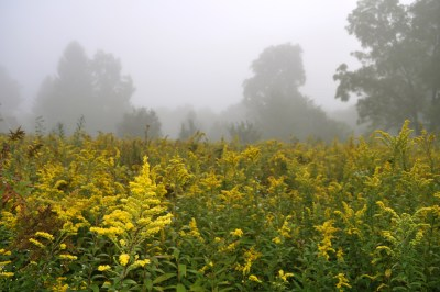 Goldenrod in the morning
