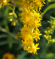 Close up of goldenrod flower
