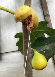 Splitting fig