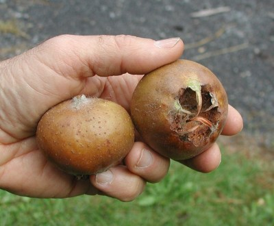 Medlar fruit in hand