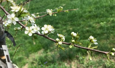 Clusters (spurs) of blossoms on plum