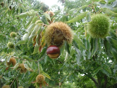Chestnuts falling free from burr