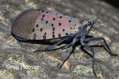 Spotted Lanternfly adult lateral view
