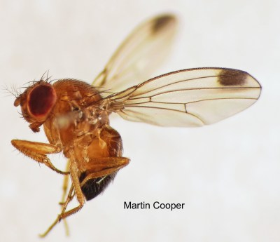 Spotted-wing_Drosophila