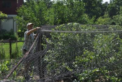 Netting blueberries