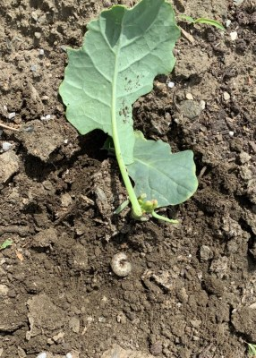 Cutworm and friend's broccoli