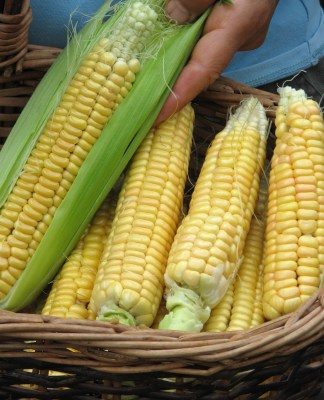 Golden Bantam sweet corn, non-hybrid