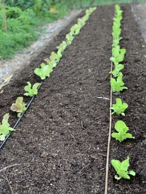 Corn bed composted and planted