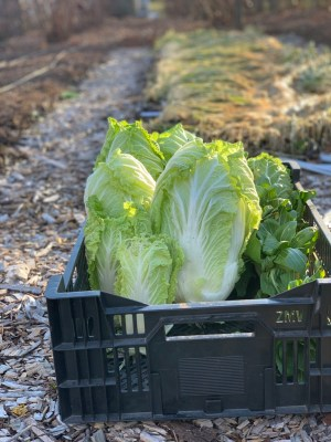 Chinese cabbage, harvested from tunnel