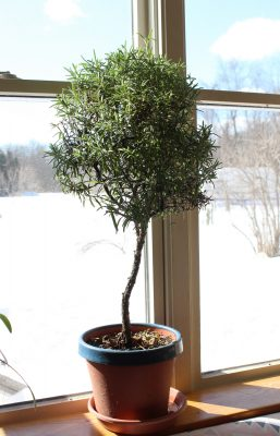 Potted rosemary tree in winter