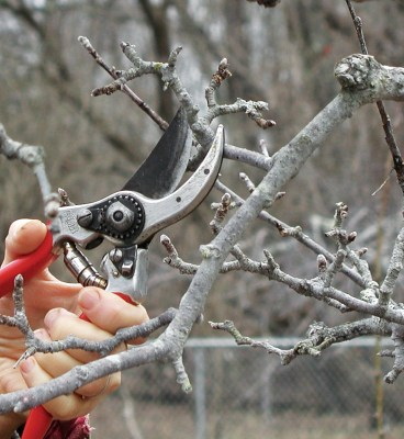 Pruning apple spur