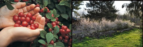 Nanking cherry fruit and bloom