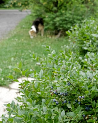Lowbush blueberries along path