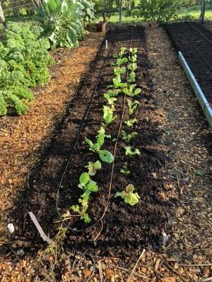 Planted bed, endive, lettuce