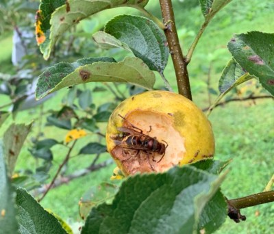Apple being damaged by European hornet