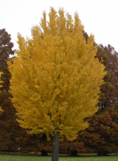 Ginkgo tree in fall