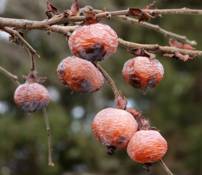 Persimmons on tree in December