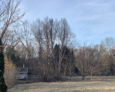 River birches