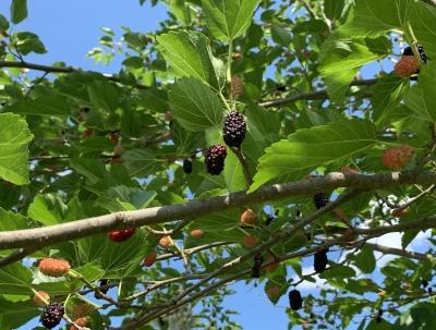Oscar mulberry