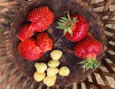 Strawberries, clockwise from left, vescana, garden, and alpine