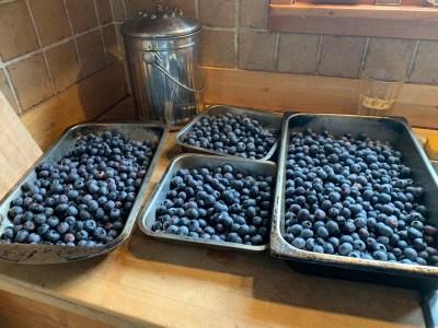 Today's blueberry harvest