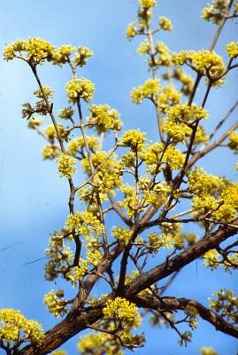 Cornelian cherry flowers