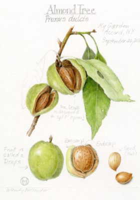 Almond Illustration, by Wendy