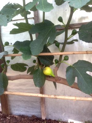 Early figs on old part of stem, later figs developing on new shoot