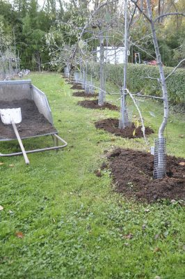 Compost mulch on pears