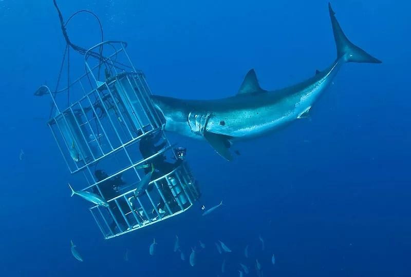 Le photographe Don Carpenter est un habitué du grand requin blanc, qu'il traque depuis de nombreuses années. Une expérience limite qui aurait pu arriver à son terme. Immergé dans une cage d'acier, dans les eaux de l'océan Pacifique, près de l'île mexicaine Guadalupe, il est parvenu à faire l'image de sa vie. Jamais, en effet, un grand requin blanc ne s'était approché aussi près de lui. Il espérait cette rencontre depuis deux jours. Mais il comptait surtout sur la curiosité du requin et non sur son agressivité. La loi mexicaine interdit de les appâter pour les faire venir. Pourtant, agacé ou intrigué, l'animal a fini par attaquer (vainement) les plongeurs.