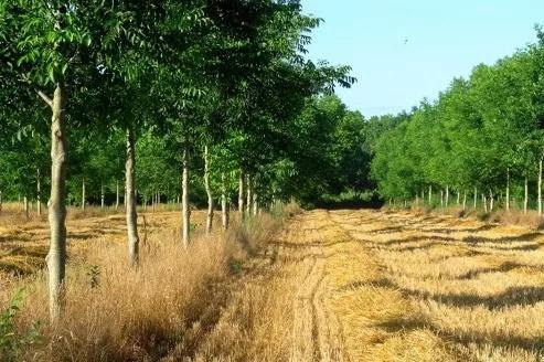 Une plantation de noyers dans un champ de blé. Crédit: C. Dupraz/Inra